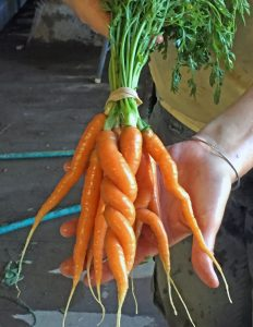 Twisted Carrots 8.5 X 11