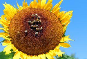 sunflower for poster