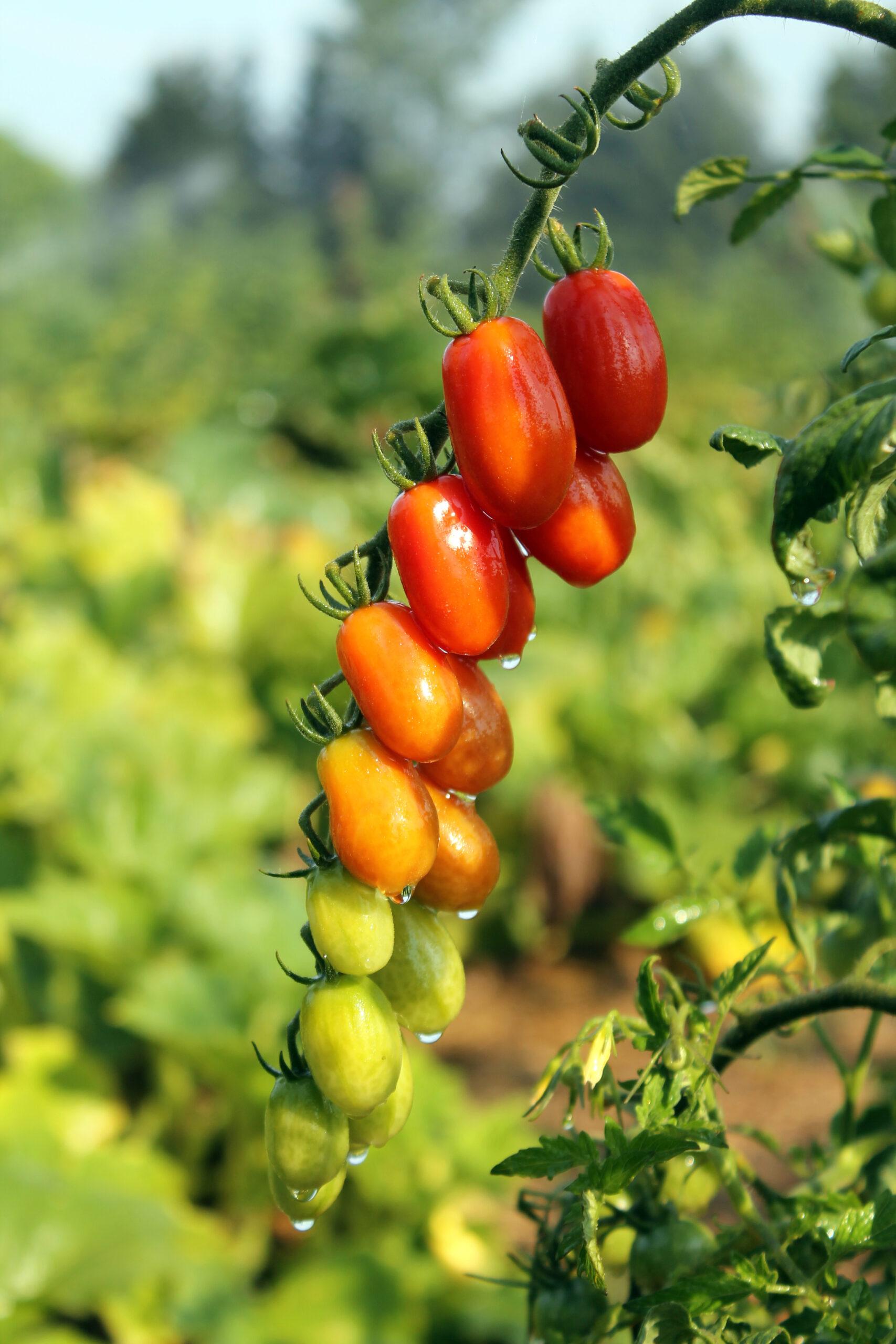 Cherry Tomatoes2jpg