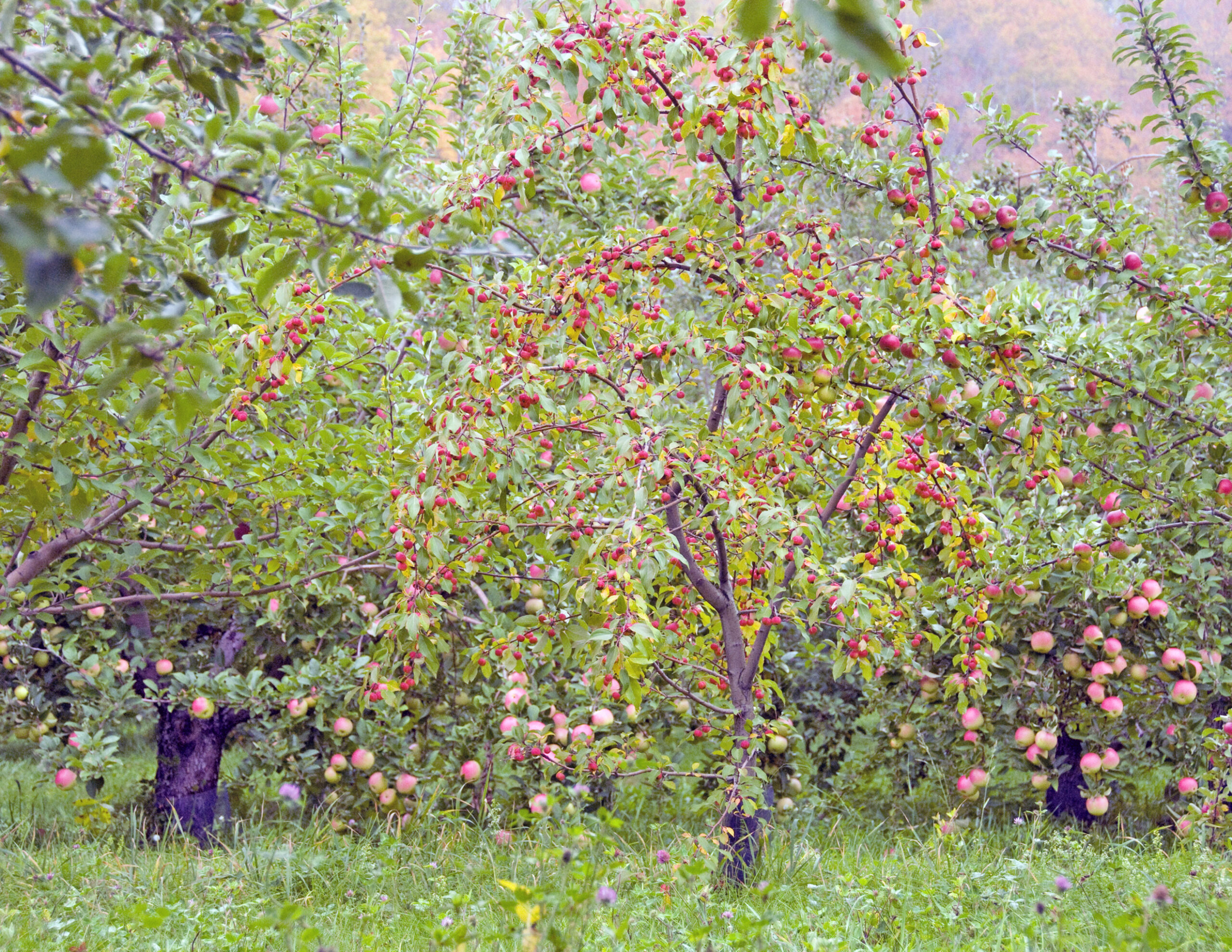 Scott Farm orchard before harvest